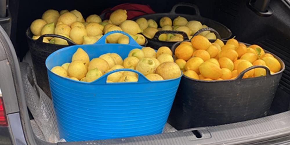 Algunos de los limones que ha recogido.
